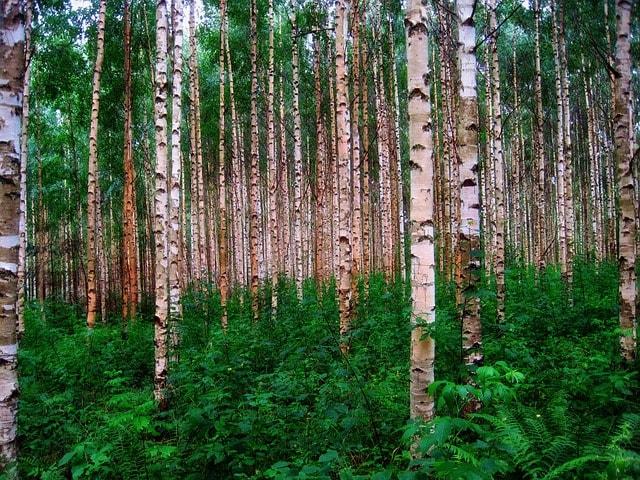 les plný bříz
