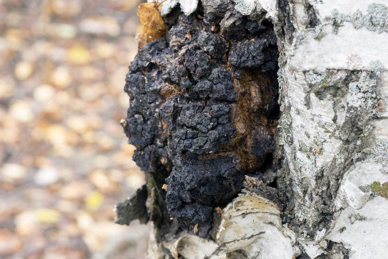Čaga na bříze, parazitující houba získává betulin
