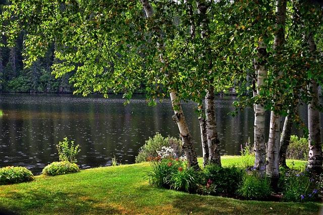 břízy na kraji jezera