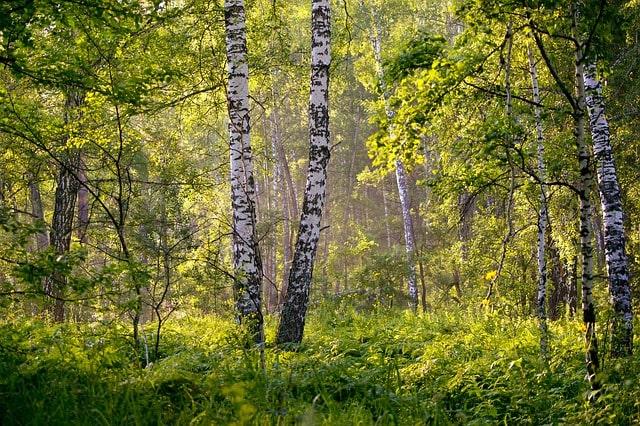 dva stromy bříza v lese