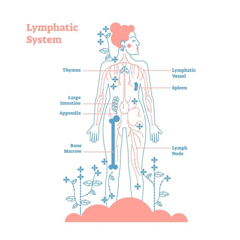 znázornění složení lymfatického systému